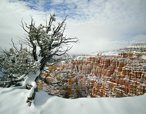 Lone Juniper tree in snow, Bryce Canyon National Park, Utah.<br />