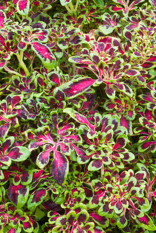 Solenostemon (Coleus) 'Fire Fingers', annual foliage plant ornamental leaves, red and green