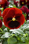 VIOLA WITTROCKIANA 'MAMMOTH BIG RED', PANSY