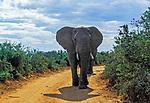 Suedafrika, Garden Route, Addo Elephant National Park: Elefant beansprucht Wegerecht | South Africa, Garden Route, Addo Elephant National Park: elephant