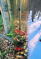 DIGITAL COMPOSITE: Boreal forest of aspen trees in three seasons, Fairbanks, Alaska