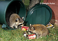 MA22-003x  Raccoon - young animal exploring, finding food in garbage can - Procyon lotor