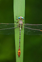 334090013 a wild female russet-tipped clubtail dragonfly stylurus plagiatus perches on a plant leaf in the rio grande valley of south texas