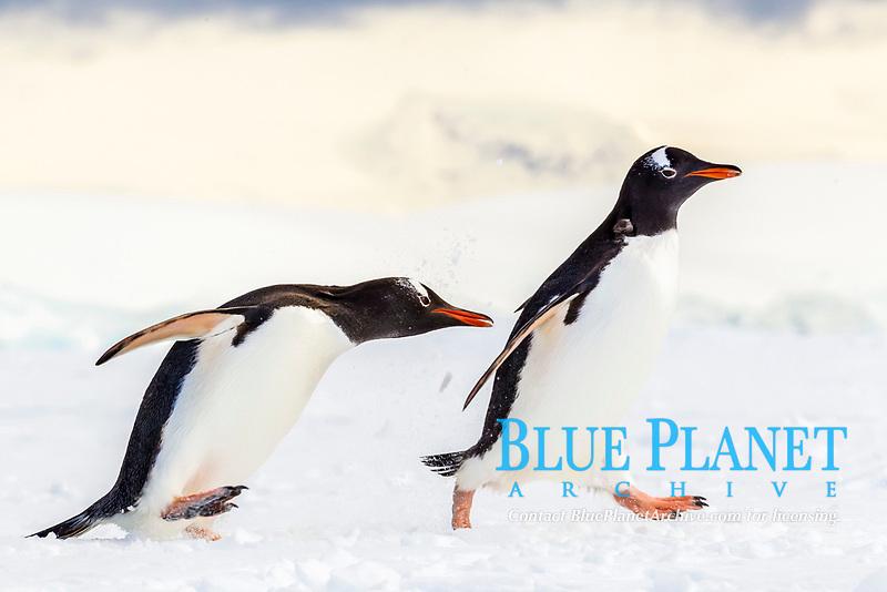 gentoo penguin, Pygoscelis papua, adult, fighting on fast ice, Enterprise Island, Antarctica, Southern Ocean