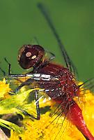 1O06-019a  Skimmer Dragonfly - Ruby Meadowhawk Male - Sympetrum rubicundulum