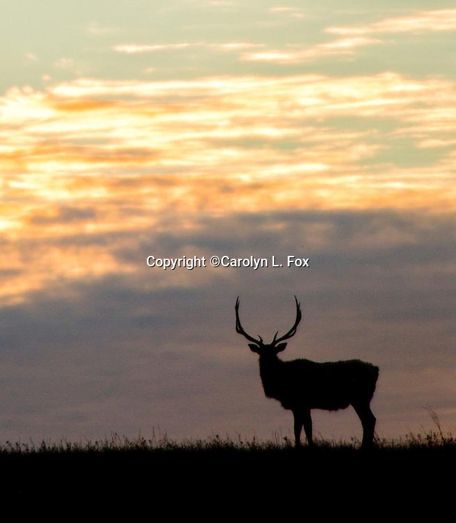 A bull elk stands on a ridge at sunrise.