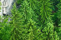 Gewöhnliche Fichte, Rot-Fichte, Rotfichte, Picea abies, Common Spruce