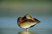 Black-bellied Whistling-Duck, Dendrocygna autumnalis, adult preening, Welder Wildlife Refuge, Sinton, Texas, USA, June 2005