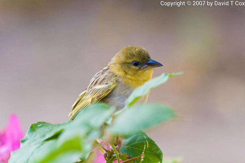 Southern Brown-throated Weaver, Shire River, Liwonde NP, Malawi