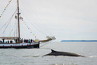fin whale or finback whale, Balaenoptera physalus, and whale watching boat, Jolly Breeze, Bay of Fundy, near Deer Island and Campobello Island, New Brunswick, Canada