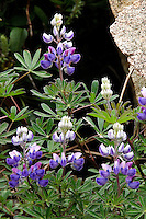 The Silver Lupine (lupinus argenteus) is plant with worldwide representation. Lupines are particularly adaptable to rocky soils as they can fix nitrogen from the atmosphere into ammonia via a rhizobium-root nodule symbiosis, fertilizing the soil for other plants.  This adaption allows lupines to be tolerant of infertile soils and capable of pioneering change in barren and poor quality soils.