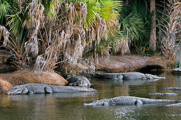 American Alligators (Alligator mississippiensis)