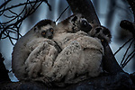 Verreaux's Sifaka (Propithecus verreauxi), Toamasina, Madagascar<br /> <br /> Few of Madagascar's inhabitants are as cute as sifaka lemurs, including these three huddled together for warmth. The island's nighttime temperatures drop precipitously in the desert regions.<br /> <br /> Canon EOS-1Ds Mark II, EF70-200mm f/2.8 +2x lens, f/5.6 for 1/25 second, ISO 400