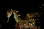 Thorny seahorse portrait, Hippocampus hystrix, Lembeh Strait, Bitung, Manado, North Sulawesi, Indonesia, Pacific Ocean