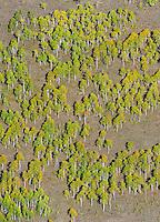 Aspens on hillside, Gunnison, Colorado