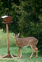 We are all birds here: Deer at birdfeeder with telltale seeds on nose, Midwest USA