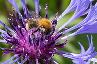Ackerhummel, Acker-Hummel, Hummel, Weibchen, Bombus pascuorum, Bombus agrorum, Megabombus pascuorum floralis, common carder bee, carder bee, female, le bourdon des champs