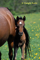 SH08-025b  Arabian Horse - colt with mare
