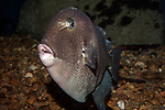 Gray Triggerfish 45 degrees to camera
