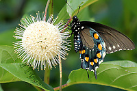 PARK VISITOR<br />A pipevine swallowtail butterfly explores a buttonbush plant on July 11 outside the Hobbs State Park-Conservation visitor center in east Benton County. <br />(Courtesy photo/Phyllis Kane)