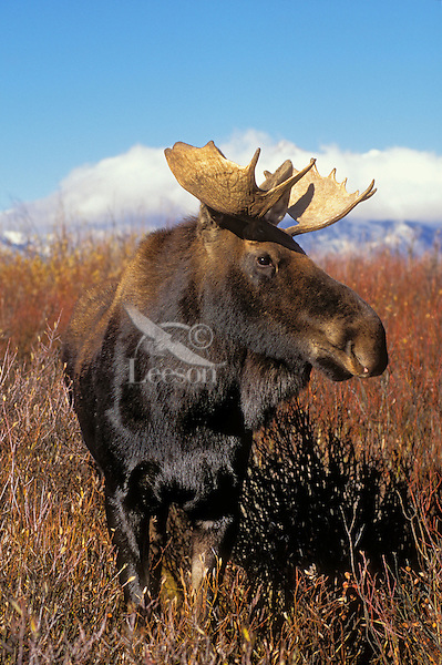 """BULL MOOSE. Two or three year old with immature antlers..The name 'moose"""" is derived from the Algonkian name that means """"eater of twigs""""  Autumn. Grand Teton National Park, Wyoming. U.S.A. (Alces alces)."""