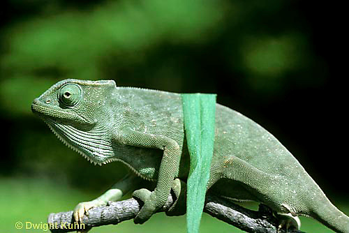 CH25-034z  African Chameleon - color change due to temperature difference, under leaf skin is cooler -   Chameleo senegalensis