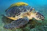 Green turtle, latin name Chelonia mydas, eating plants at the bottom, live sharksucker fish, latin name Echeneis naucrates, off Marsa Alam coast, Egypt, Red Sea,