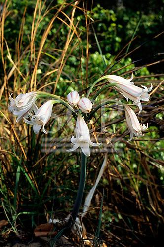 Lukulu, Zambia. White flower of the Amaryllis family.