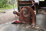 Bornean Orangutan (Pongo pygmaeus wurmbii) - Siswi the Queen of the jungle of Camp Leakey saws a piece of firewood then sweeps the floor to clean away sawdust.