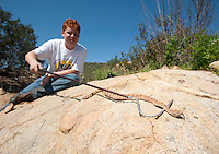 A fellow participant in a herpetological survey wrangles a speckled rattlesnake for photos.