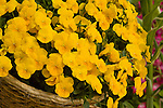 VIOLA 'FREEFALL GOLDEN YELLOW', PANSY