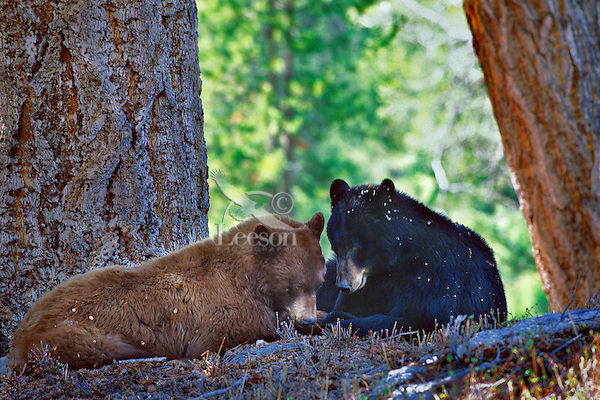 A pair of courting black bears (cinnamon or brown color phase is common among black bears).  Western U.S., spring.