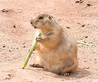 0721-1113  Black-tailed Prairie Dog Eating Prairie Grass, Cynomys ludovicianus  © David Kuhn/Dwight Kuhn Photography