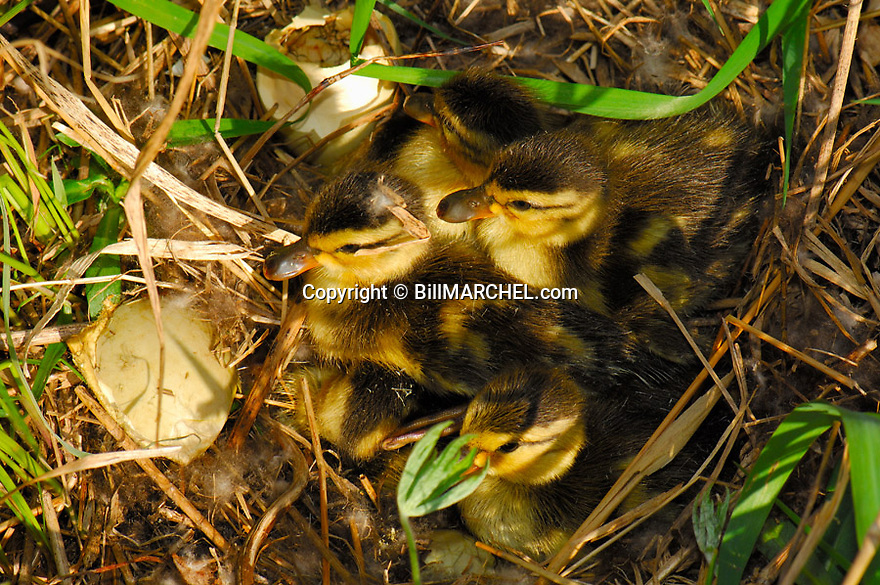 00330-080.07 Mallard Duck (DIGITAL) brood of newly hatched ducklings are in nest containing egg shells.  Young, egg tooth.  H3E1