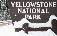 A red fox approaches the entrance sign to Yellowstone National Park.