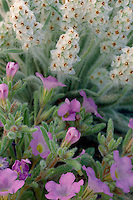 Rough nama and Heller plantain<br /> Chisos Mountains<br /> Big Bend National Park<br /> Chihuahuan Desert,  Texas