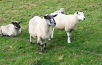 Sheep in a field, Kent, UK.
