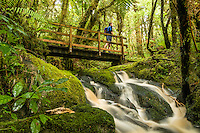 Pristine brown forest stream and green moss on rocks in Oparara Valley with hiker on bridge, Kahurangi National Park, West Coast, Buller Region, New Zealand
