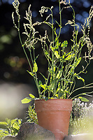 Sauerampfer im Topf, Blumentopf, Kübel, Wiesen-Sauerampfer, Sauer-Ampfer, Großer Sauerampfer, Ampfer, Rumex acetosa, Common sorrel, garden sorrel, spinach dock, narrow-leaved dock, flower pot, garden pottery, plant pot, l'Oseille commune, Grande oseille, Oseille des prés, vinette