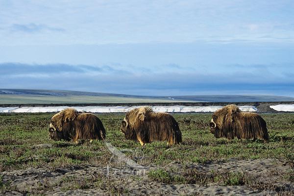 Three muskox bulls walk across arctic ladscape.  Alaska.  Summer.