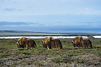 Three muskox bulls walk across arctic ladscape.  Alaska.  Summer.