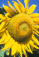 Sunflower Mammoth (Helianthus annuus) against blue sky, big huge enormous flower in bloom on sunny day