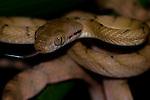 Brown tree snake, Boiga sp., Lembeh Strait, Bitung, Manado, North Sulawesi, Indonesia, Pacific Ocean