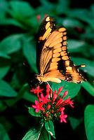 Zebra swallowtail butterfly.