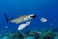 sand tiger shark, Carcharias taurus, aka grey nurse shark, spotted ragged-tooth shark, or blue-nurse sand tiger, attacking, eating a wrasse, Chichi-jima, Bonin Islands, Ogasawara Islands, Natural World Heritage Site, Tokyo, Japan, Pacific Ocean