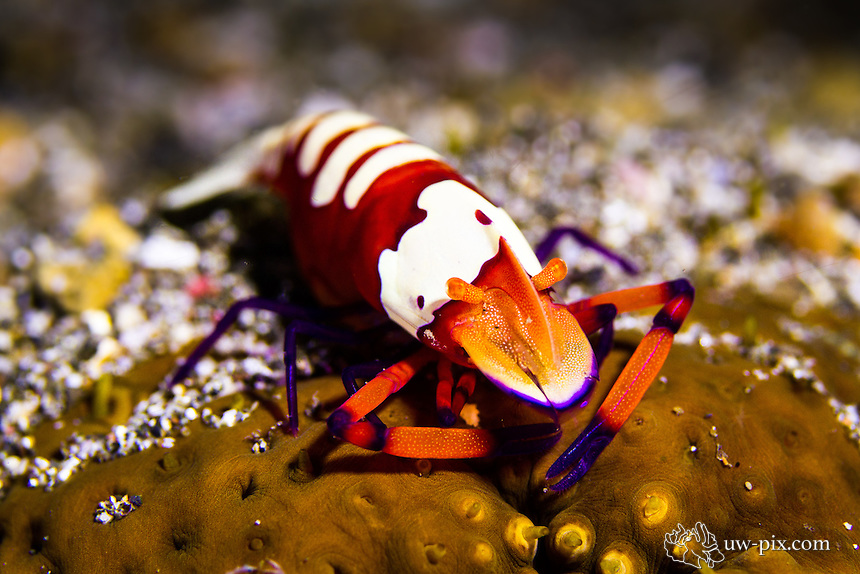Emperor shrimp on sea cucumber