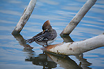 a merganser hen preening feathers on a log in a pond during spring mating season in montana