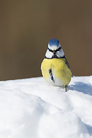 Blaumeise, Winter, Schnee, Blau-Meise, Meise, Meisen, Cyanistes caeruleus, Parus caeruleus, blue tit, tit, tits, La Mésange bleue