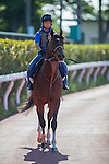 TOKYO,JAPAN-JUNE 02: Maurice,trained by Noriyuki Hori, is execising for the Yasuda Kinen at Tokyo Racecourse on June 02,2016 in Fuchu,Tokyo,Japan (Photo by Kaz Ishida/Eclipse Sportswire/Getty Images)