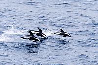 hourglass dolphins, Lagenorhynchus cruciger, near South Georgia Island ( S. Atlantic )